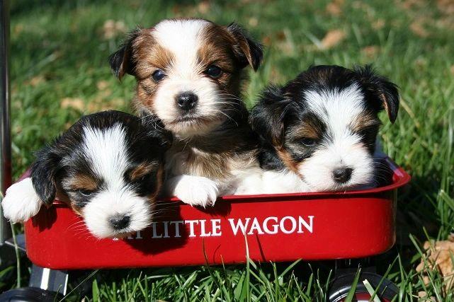 Puppies for Sale - Cherylstinyyorkies com