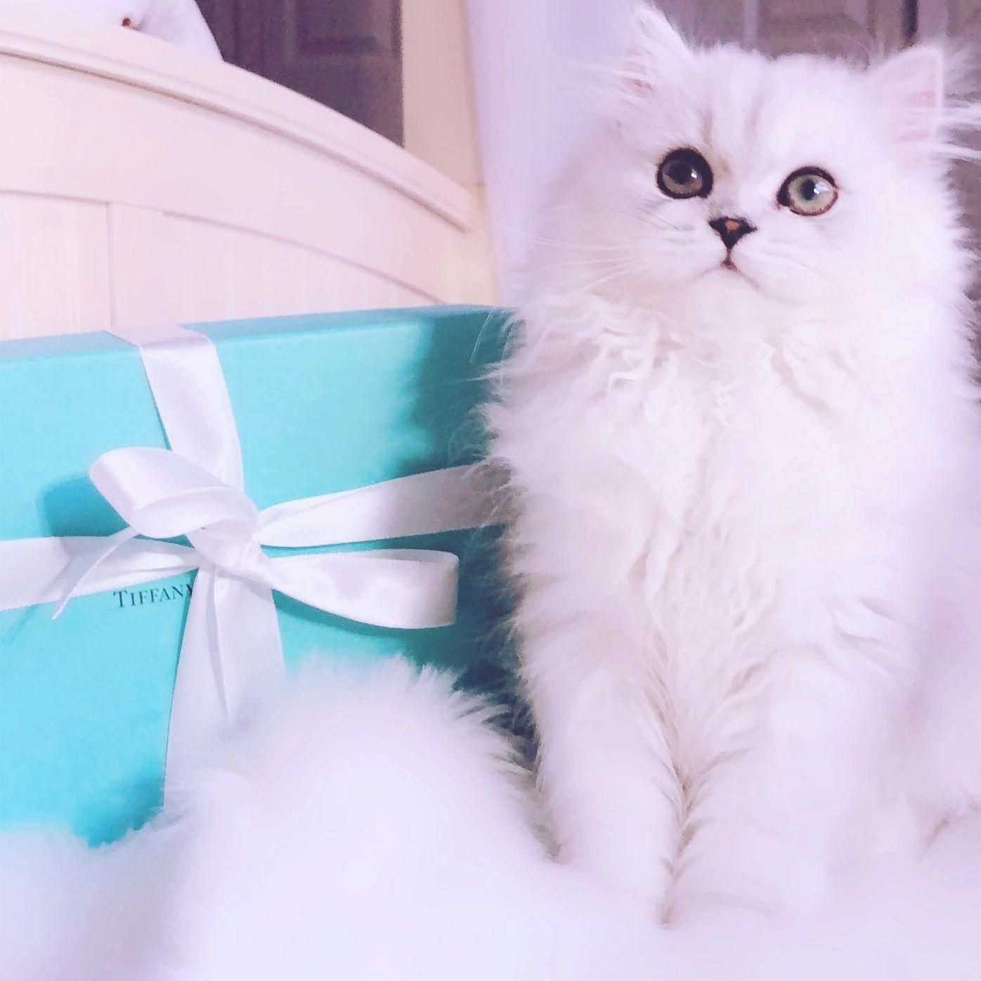 Powderpuff Persians - Persian Kittens for Sale , Persian Kittens