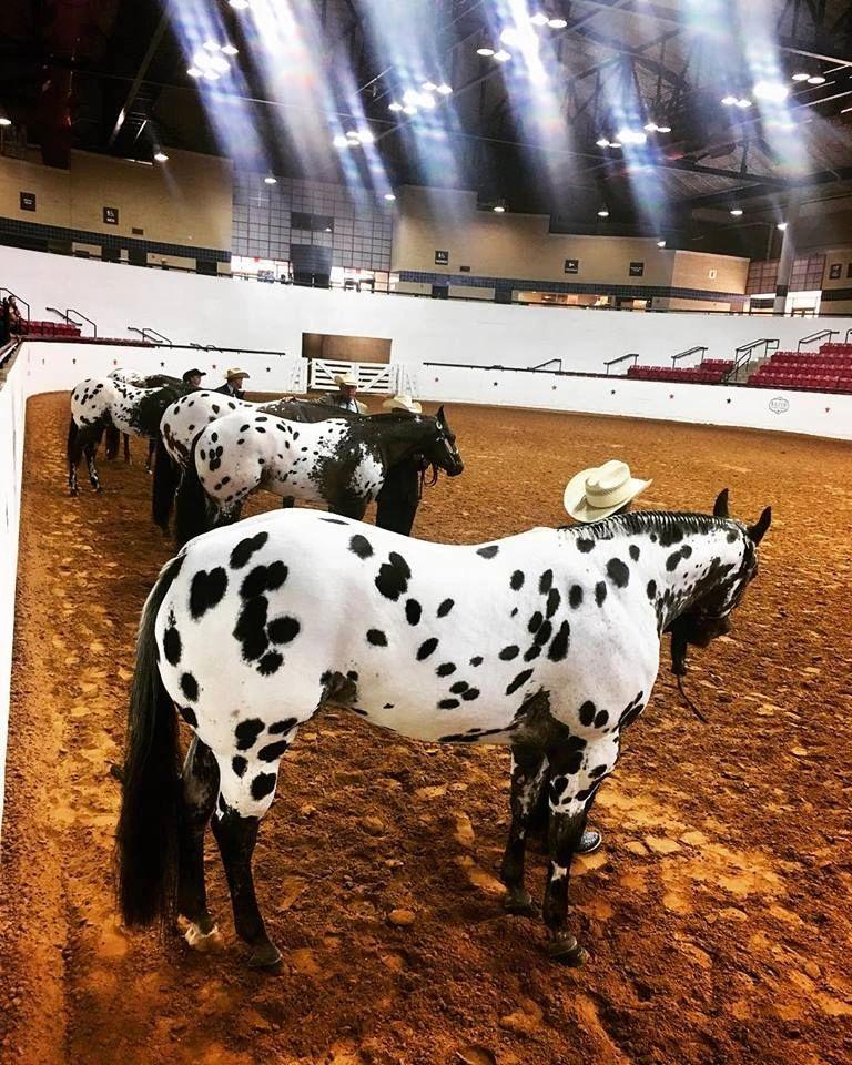 Oklahoma Appaloosa Horse Club