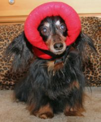 Bumper Hat (Protective Padded Headgear for Blind Dogs)