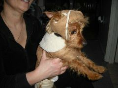 Protective Padded Headgear for Blind Dogs