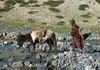man with his donkey his soulmate and means of his imcome in Zanskar - Himalayas.