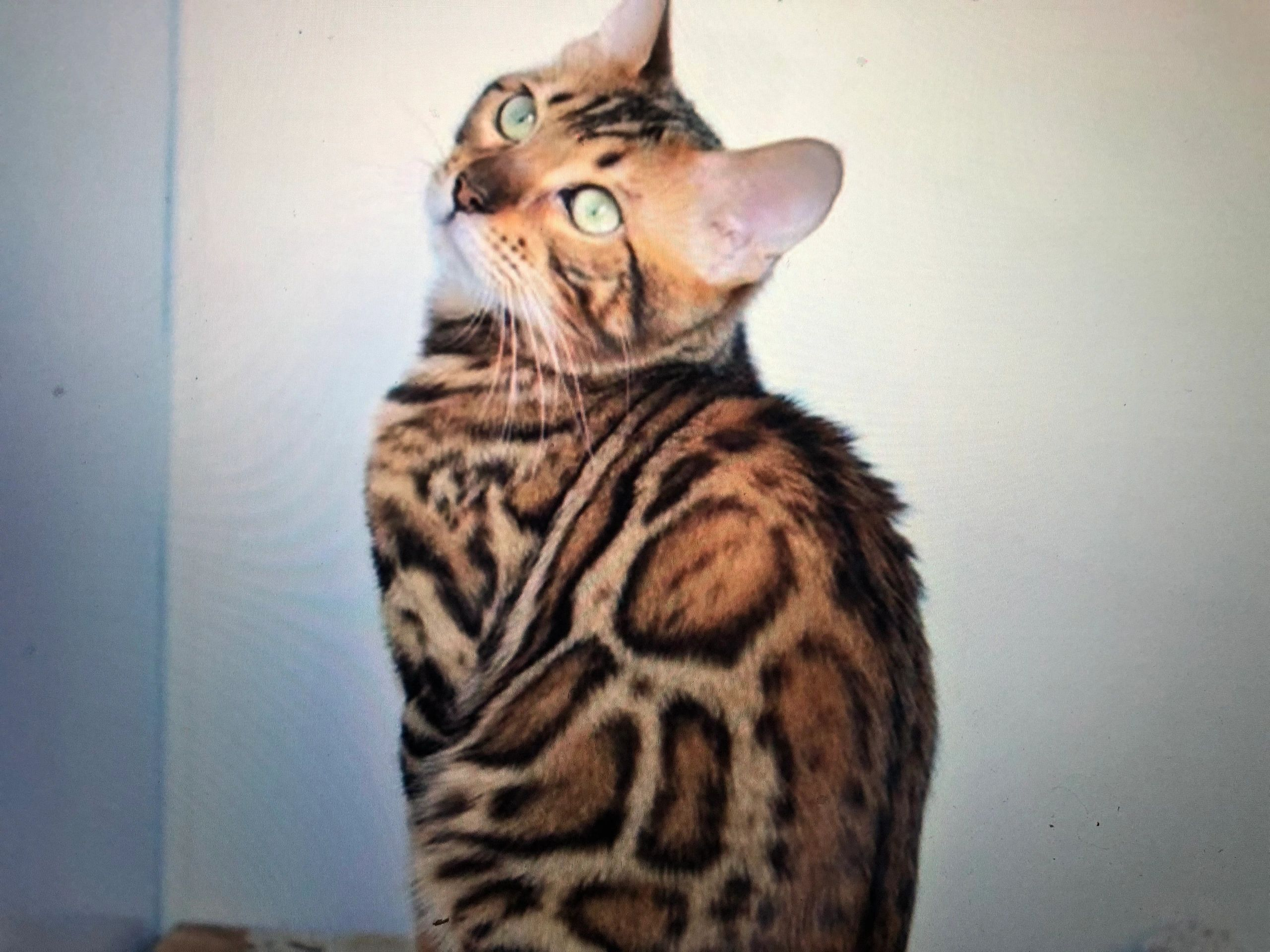 Bengal Kittens for sale near me | Bengal Cats in pa| Willow
