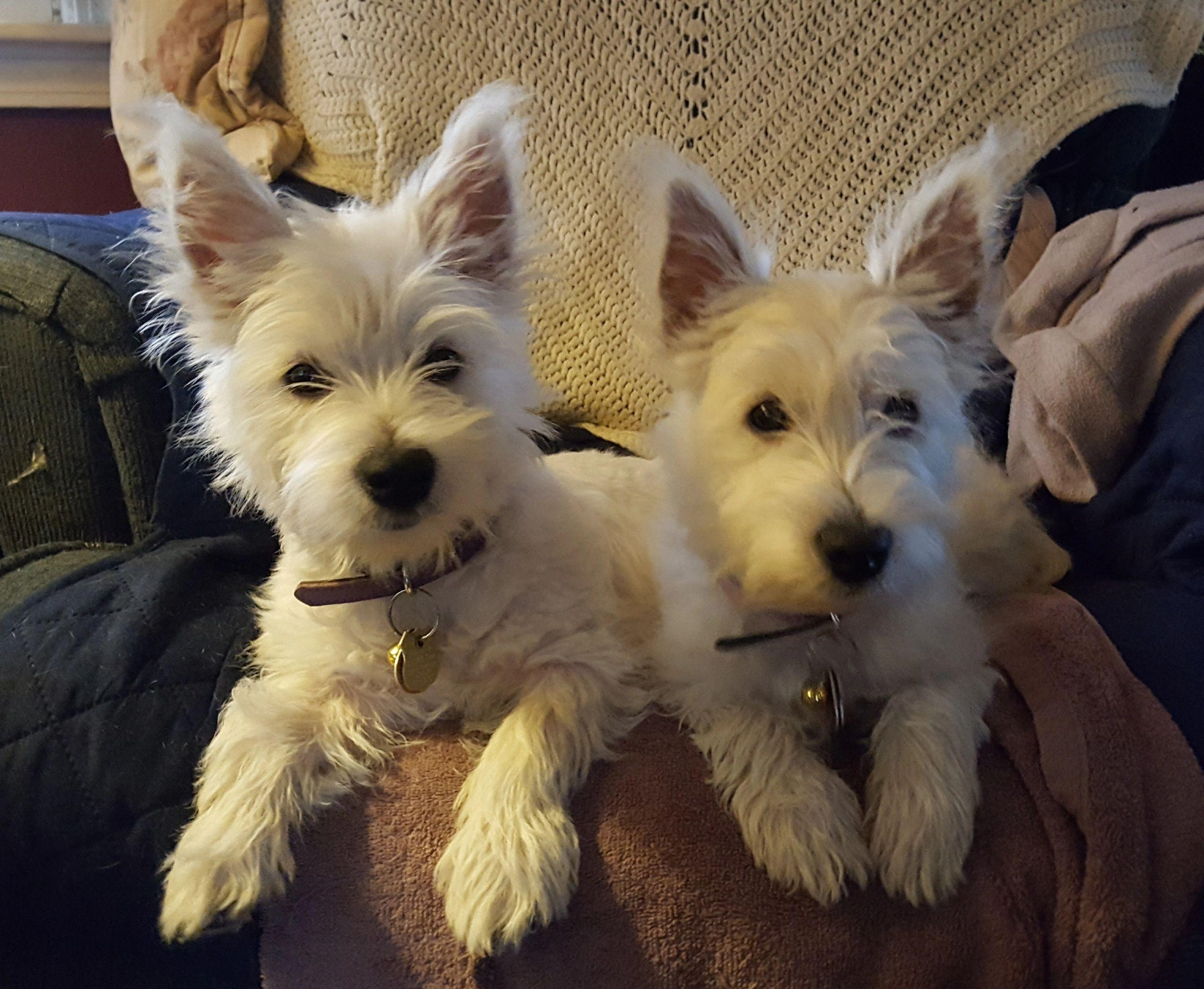 TLC Westies - Puppies, Westies, West Highland White Terriers