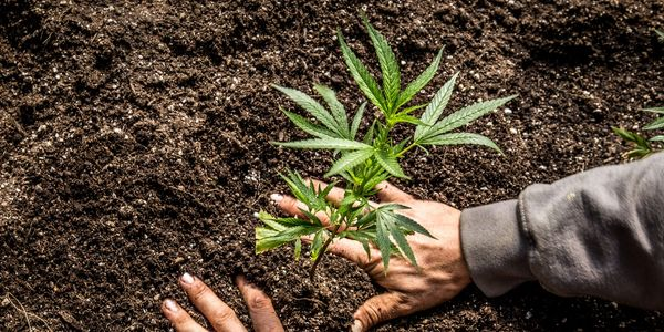 Become a Layman Weed Grower Subscribe Today..