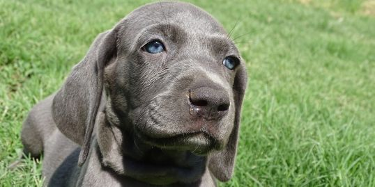 Weimaraners Weimaraner Puppies Puppies For Sale Hunting dogs Cute Puppies Beautiful Puppies