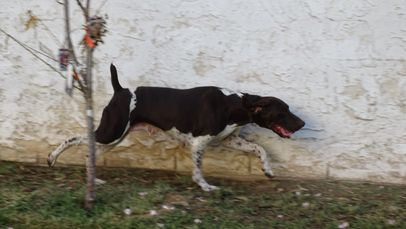 "German Shorthaired Pointers ""Kurzhaar"" German Shorthaired Pointer Puppies GSP Puppies For Sale GSP"