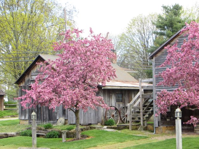 Crabapple trees as Pioneer Village. (Photo by Heidi Breudigam).