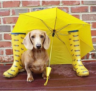 Dog rain boots walking