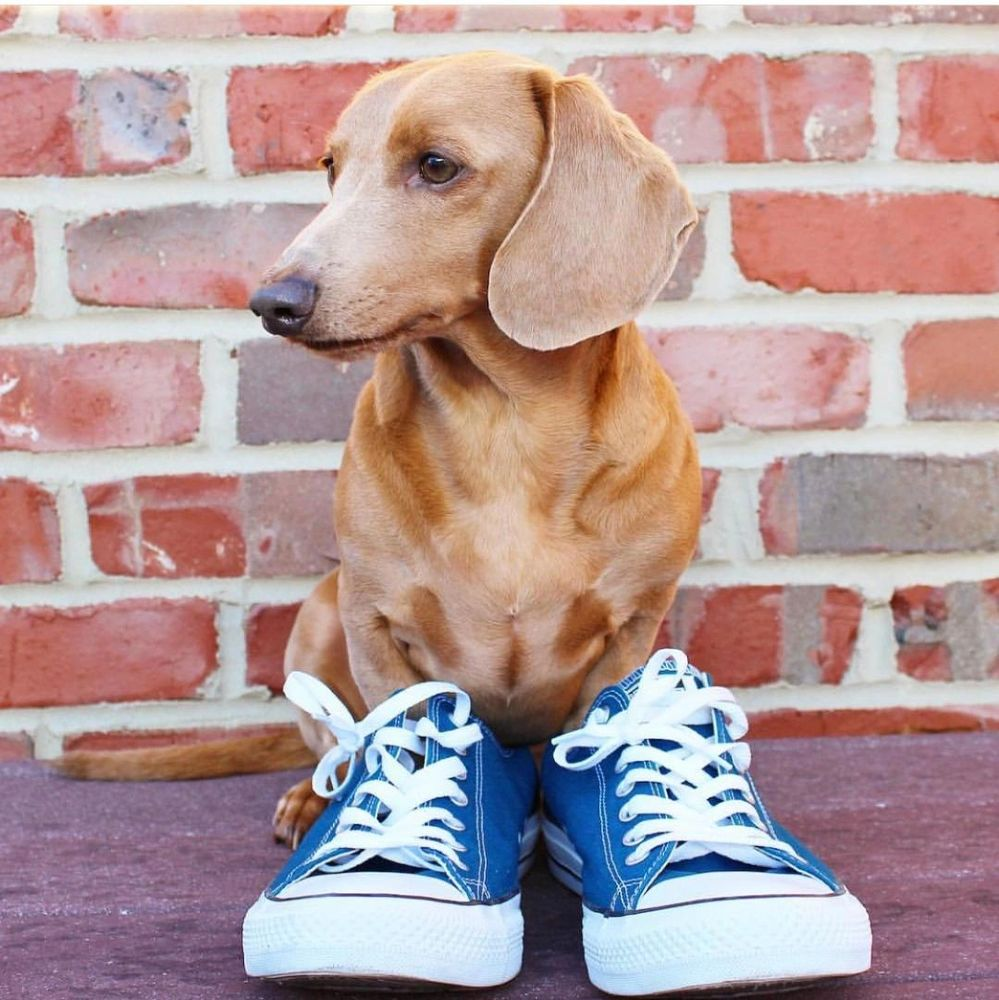 Dachshund in sneakers waiting for a walk.