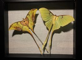 Luna moth shadow box Asheville oddities