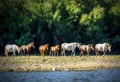 Photo of Salt River Wild Horses making their way to the river where they eat reeds