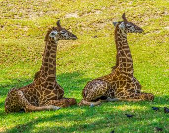 Photo of Baby giraffes laying in perfect symmetry.