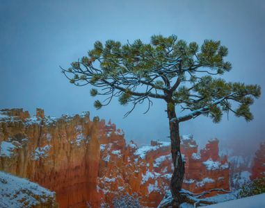 Photo of Bristlecone Pine at Bryce Canyon Sunset Point with snow and fog