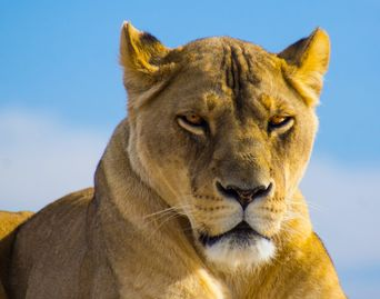 Photo of lioness taken from below her, outlined by blue sky.