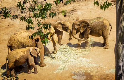 Photo of four elephants throwing straw on each other.