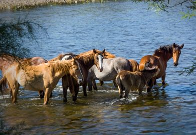 Photo of Salt River Wild Horses wading into the river.  Colt braying got a reaction from the others