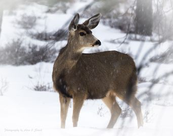 Photo of doe foraging for food in the snow at Bryce Canyon.