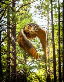 Photo of Owl in flight in Northern Arizona with pine forest in background
