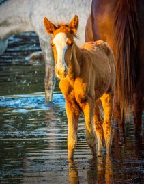 Photo of Salt River Wild Horse Foal with his band in the Salt River