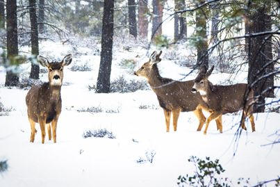Photo of three deer foraging for food in falling snow at Bryce Canyon.
