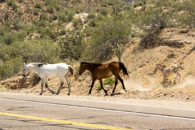 Photo of Salt River Wild Horses crossing the highway, kicking up dust as they go.