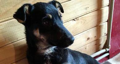 Tim the Romanian rescue dog, awaiting his forever home