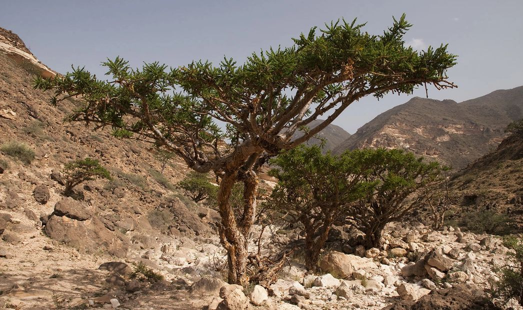 Frankincense tree. Boswellia Tree. Frank-in-Water Photo of a frankincense tree. Boswellia sacra tree