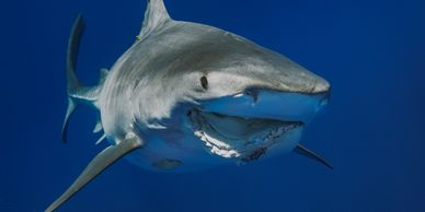 This is an image of a Tiger shark named Roxy in our field ID program.