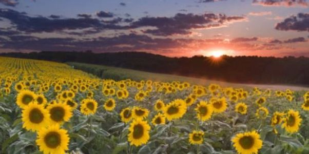 Sunflower field at dusk