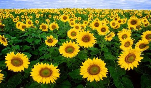 Sunflower field daytime