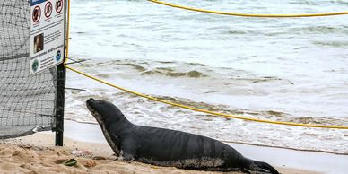 "Hawaiian Monk Seal Pup Nanea reading NOAA posted safe-distance guidelines.    ""What's a Monk Seal Ma"