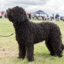 Ziggy at 7 months at Wickford & Basildon Open show, 2017