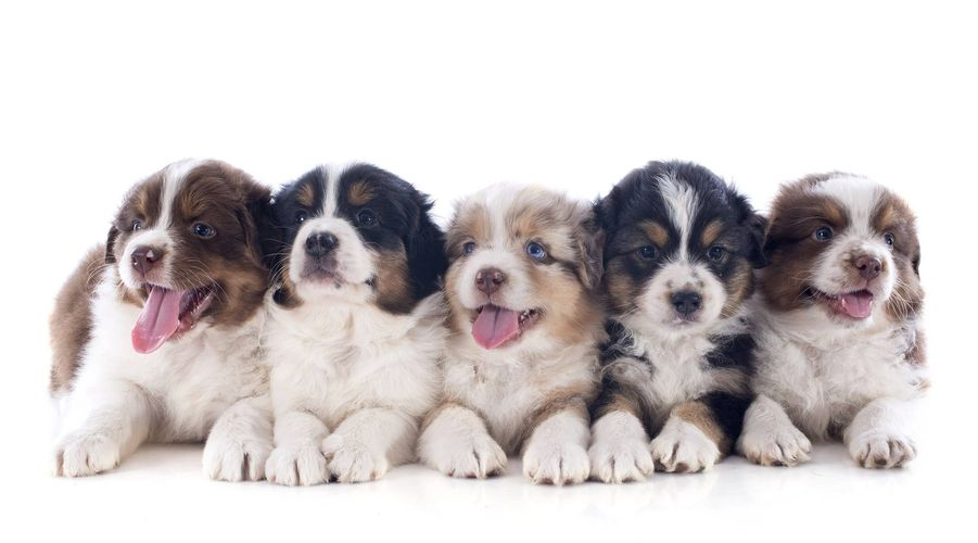 Some of our purebred Australian shepherd Puppies in Powell Butte, OR