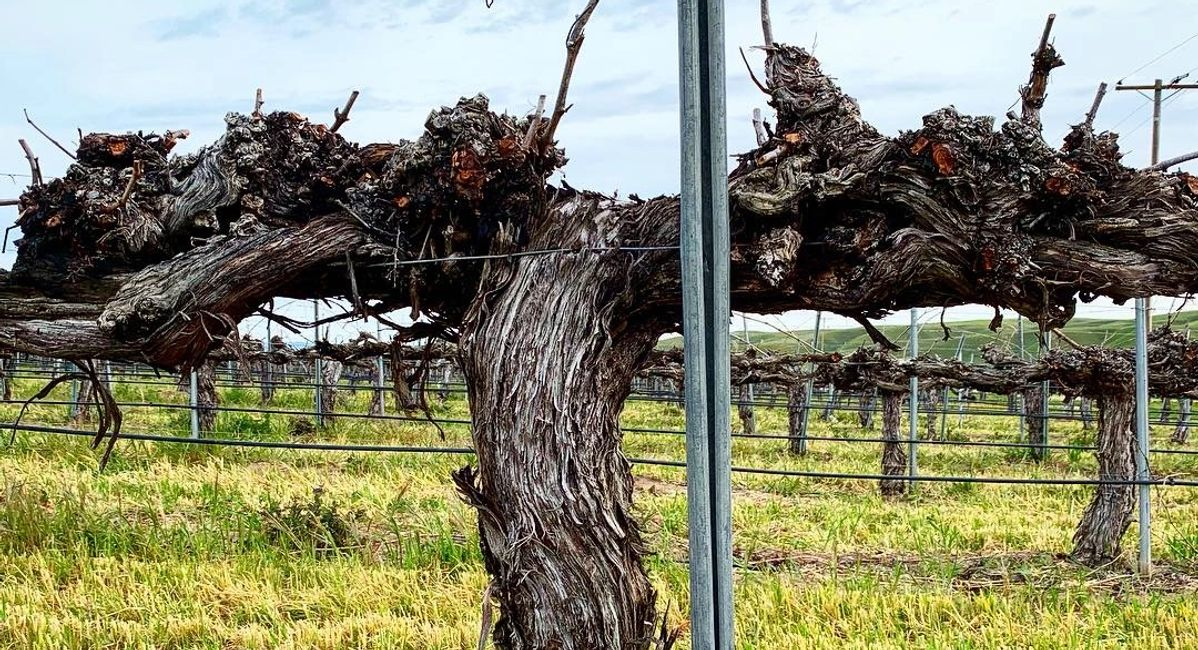 An old chenin blanc vine in Paso Robles, California