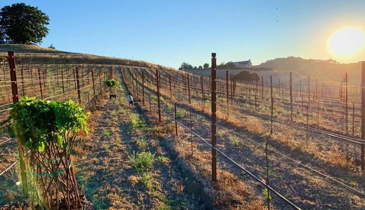 Planting a vineyard during sunrise.