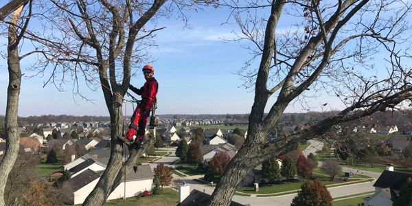 Arborist in a tree with a view of Carmel, IN