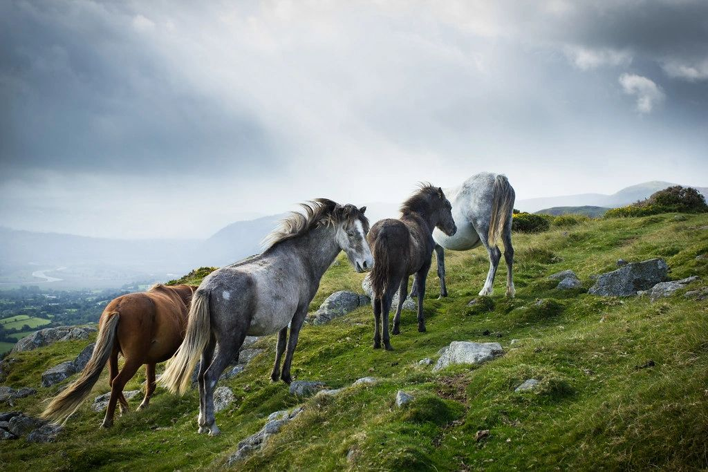 SEAT Tarraco road trip to Gower - pretty Welsh Ponies up on the moors