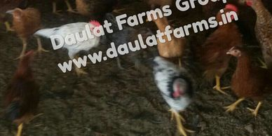 Chicken | Day Old Chicks - Daulat Farms Group of Companies