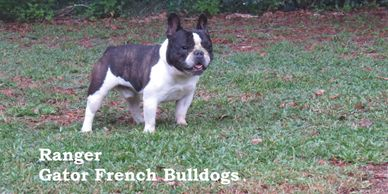 Gator French Bulldogs Stud Service