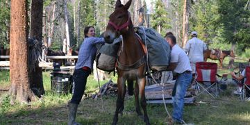 Mule packing is a valuable skill for a camp cook
