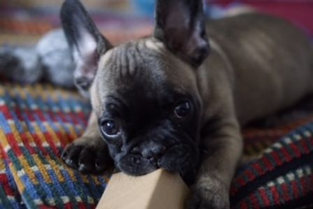 AKC registered French bulldog puppies for sale in Maryland