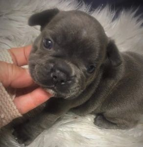Blue french bulldog male puppy. For sale in Maryland. Experienced french bulldog breeder.
