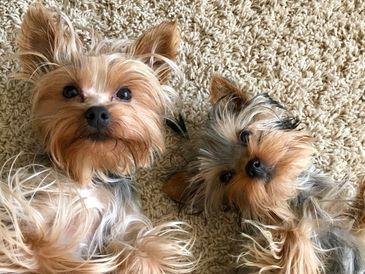 KIMBRAYSYORKIES - Yorkshire Terriers, Yorkies, Puppies