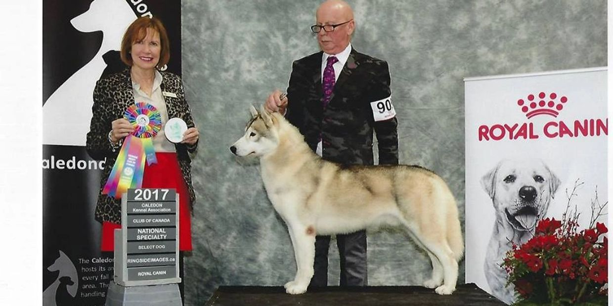 GCH Snowmist's Zip Zap What's That professionally handled to a Select Dog win at SHCC Nationals 2017