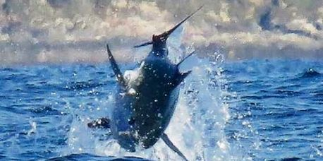 Atlantic Bluefin Tuna are one of the most amazing creatures swimming in our oceans. These huge beast
