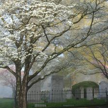 blooming tree and gravestones, historic gravesite