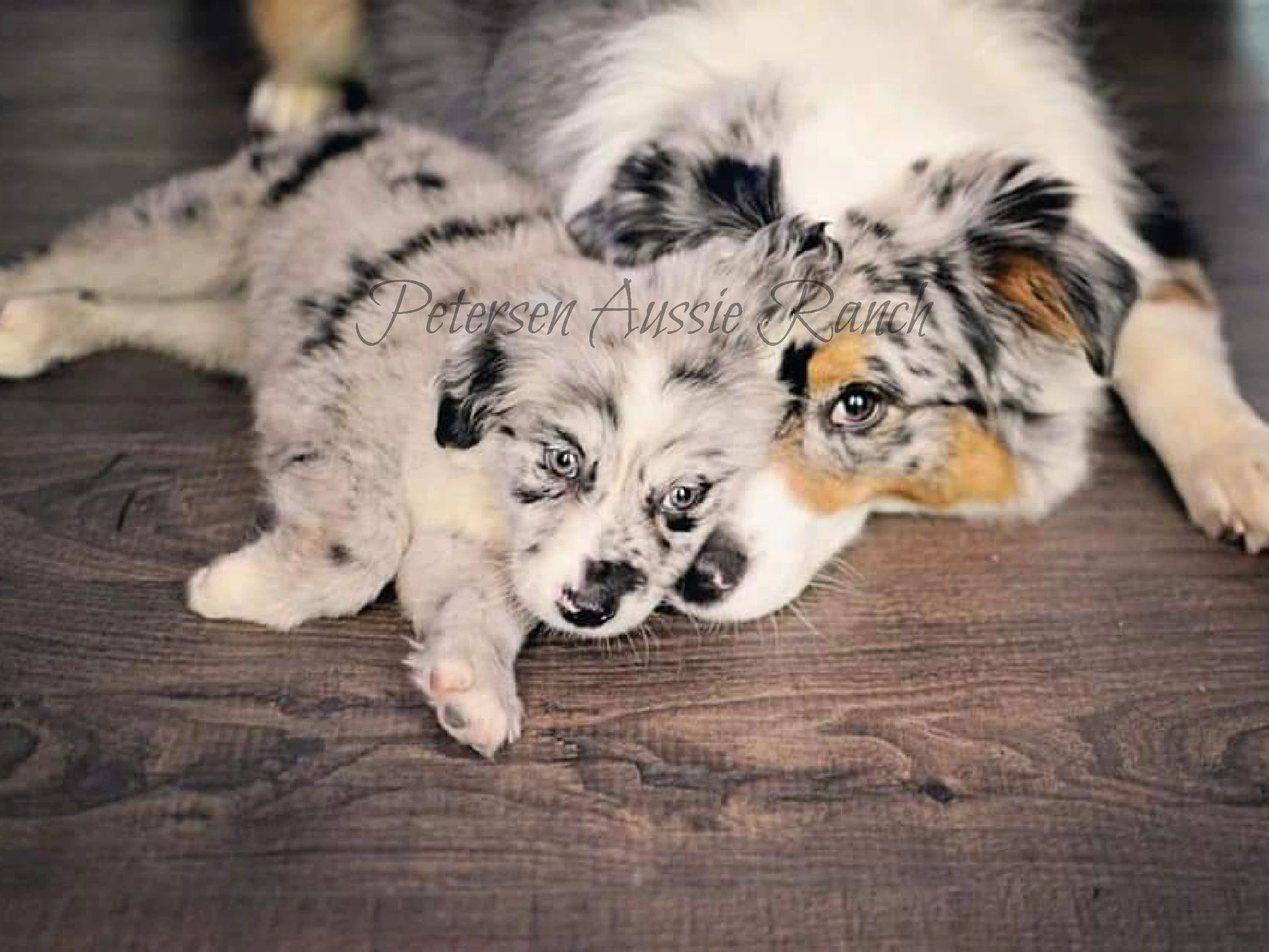 Petersen Aussie Ranch Mini Australian Shepherd Puppies