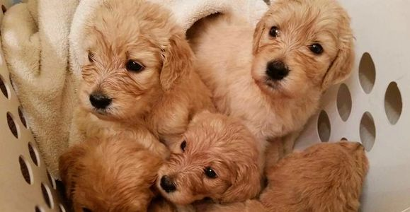 a laundry basket full of cream F1B Goldendoodle puppies after bath time