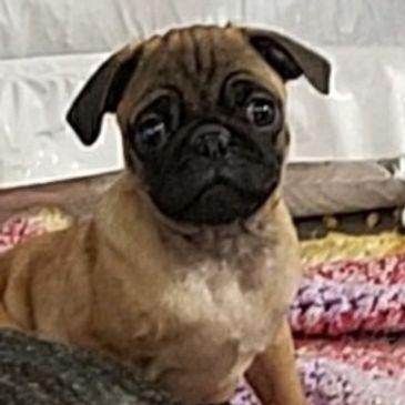 PugDowns - Pug Puppies for Sale, Pug Breeder, Pug